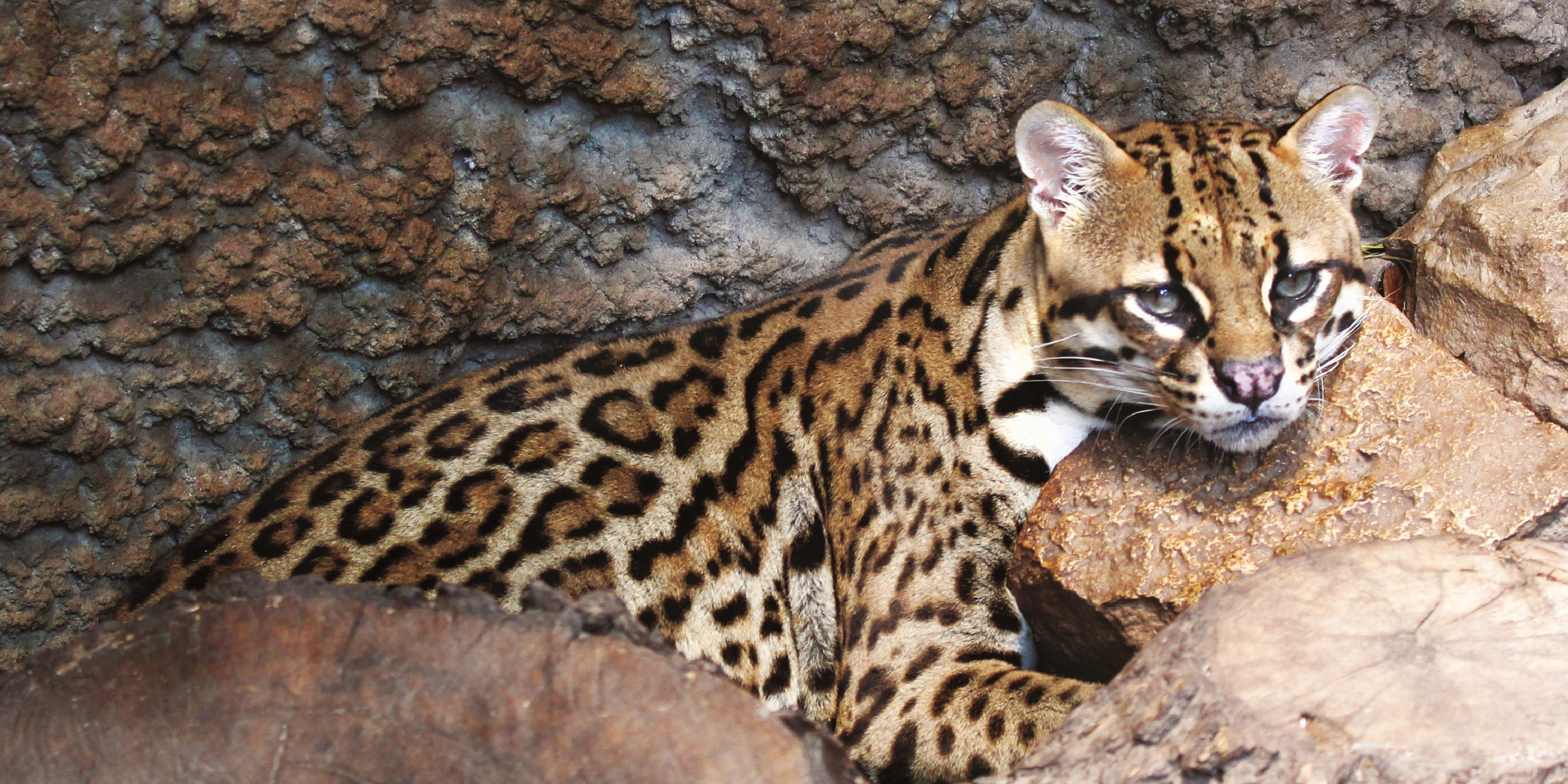 NEW EXHIBIT SIGNS TEMPLATE - OCELOT.jpg
