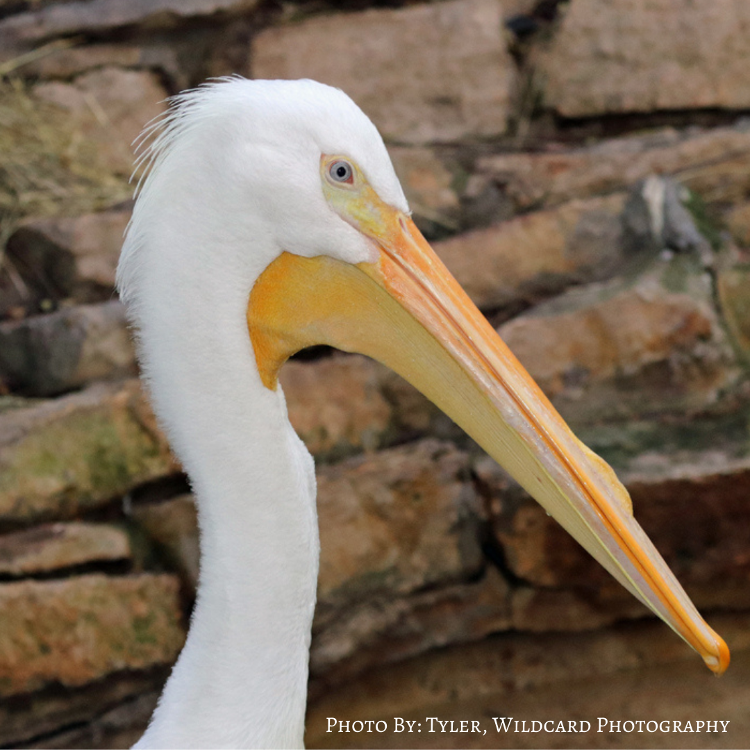 White Pelican profile